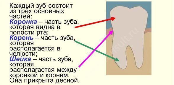 из чего состоит зуб