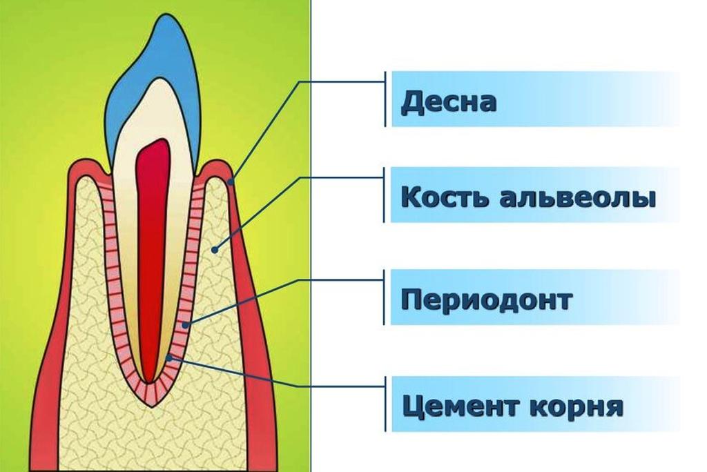 Строение тканей пародонта
