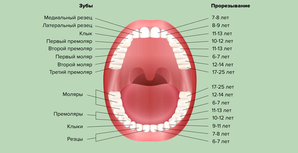 На фото показана схема прорезывания постоянных зубов