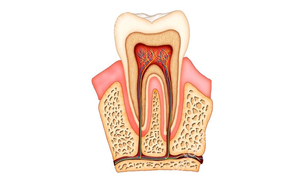Анатомия человеческого зуба