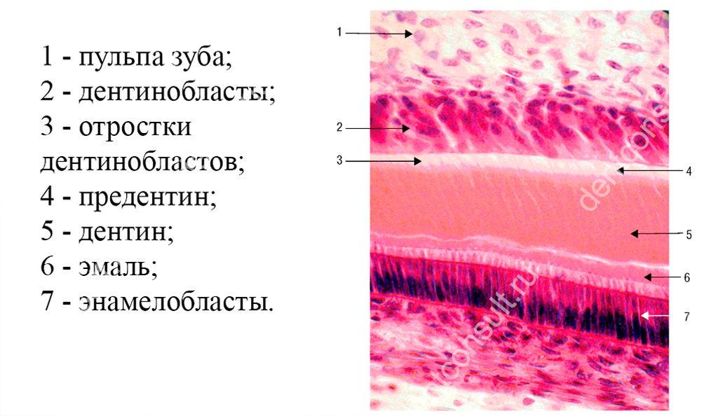 Структура дентина